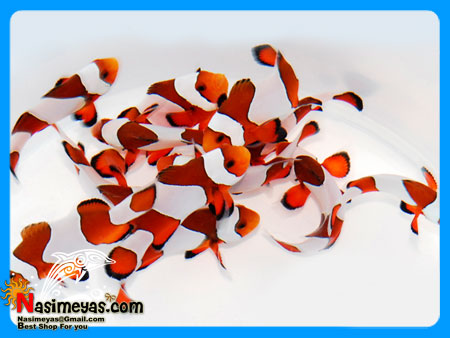 Fancy Ocellaris Clownfish