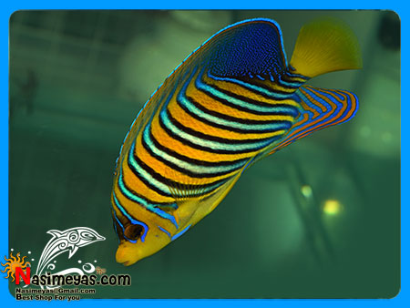 فروش فرشته Indian Regal Angelfish Adult