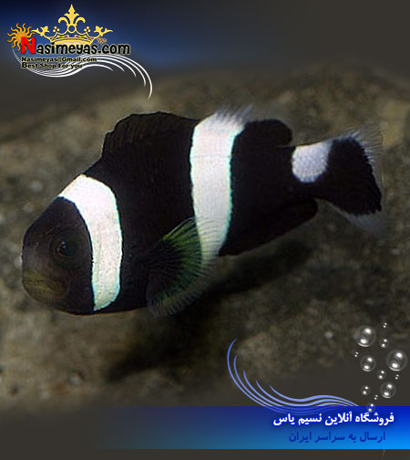 amphiprion polymnus Clownfish