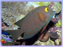 ماهی جراح کولی چشم زرد