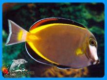 ماهی جراح پادر براون یا ژاپنی آب شور