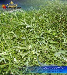گیاه مقاوم مخصوص رفیوجیوم آکواریوم آب شور