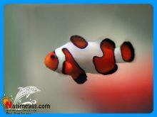 ماهی دلقک اسلاریس فانتزی آب شور