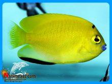 ماهی فرشته لب ماتیکی یا فرشته ۳ خال