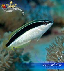 ماهی راس کوریس نوار مشکی