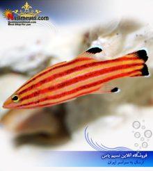 ماهی باسلت سوئیس گارد یا باسلت رابر