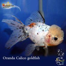 ماهی گلدفیش اوراندا کالیکو کایرین