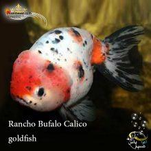 ماهی گلدفیش رانچو بوفالو کالیکو