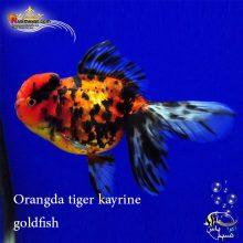 ماهی گلدفیش اوراندا تایگر کایرین