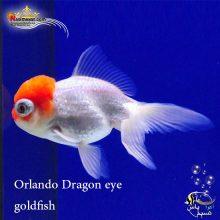 ماهی گلدفیش اوراندا دراگون آی یا چشم اژدها