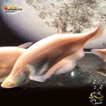 ماهی نایف آلبینو پلاتینیوم