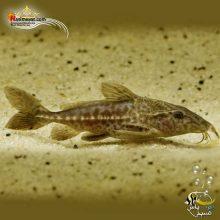 ماهی کت فیش نایجر