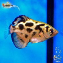 ماهی آرچر میانمار یا آرچر زبرا