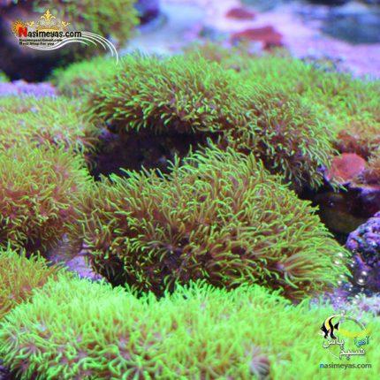 مرجان پولیپ استار سبز فسفری