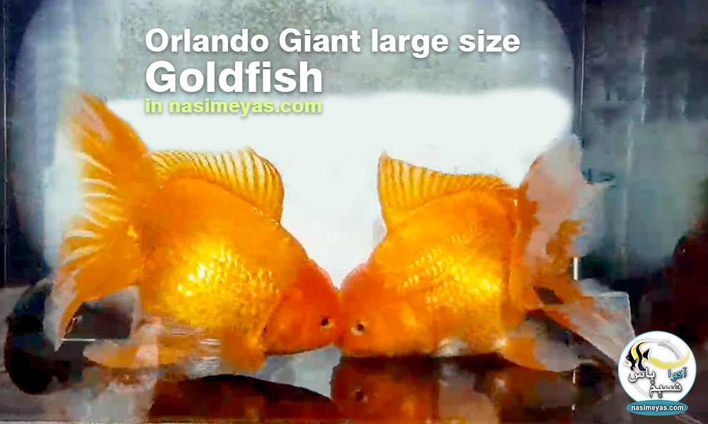 ماهی جفت گلدفیش اوراندا جاینت رد بزرگ