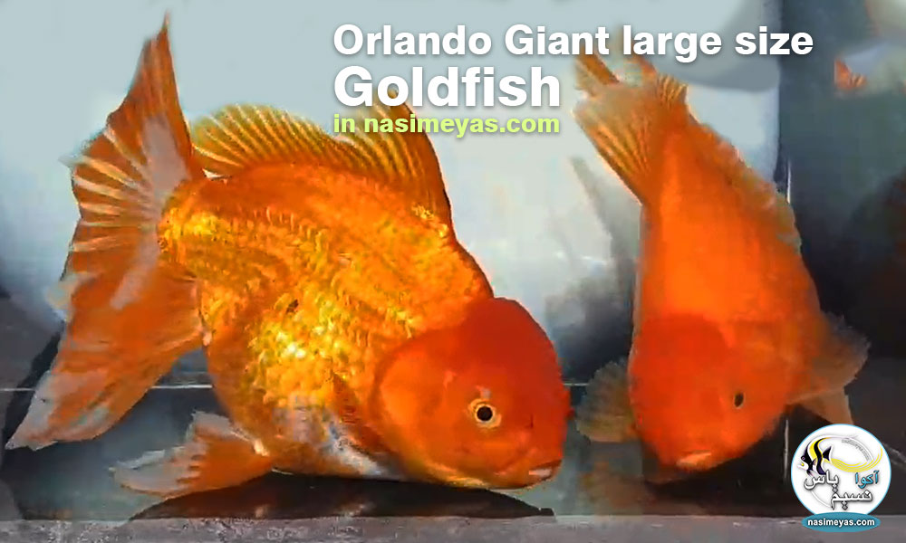 Goldfish Oranda Giant Red