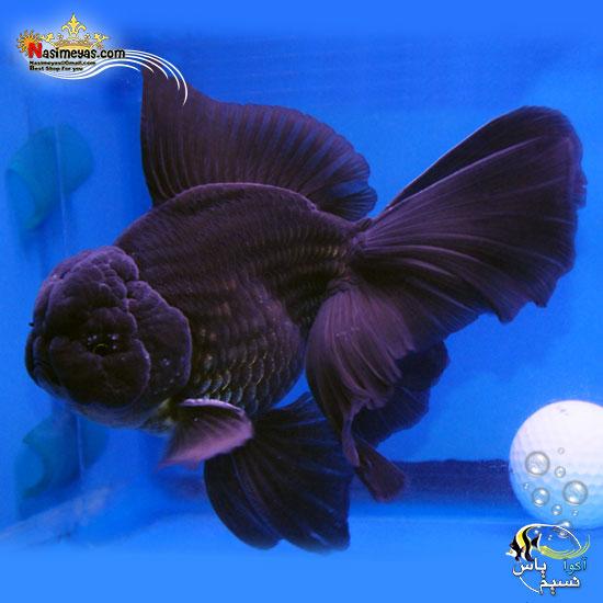 ماهی جفت گلدفیش اوراندا جاینت هافمون بلک