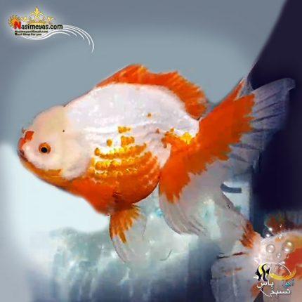 ماهی جفت گلدفیش اوراندا جاینت ساکورا پولکادات