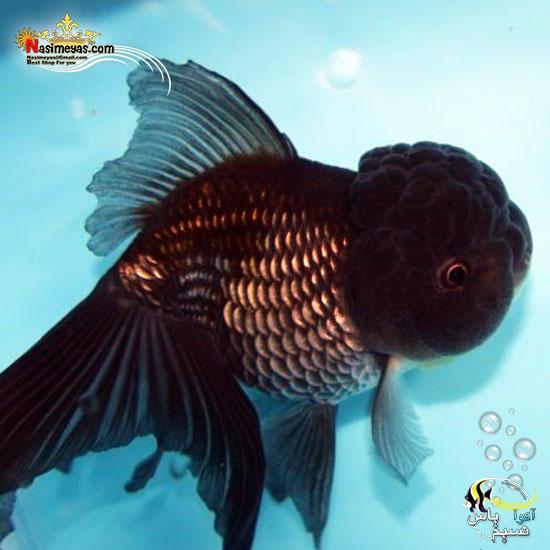 ماهی جفت گلدفیش اوراندا جاینت بلک بوفالو