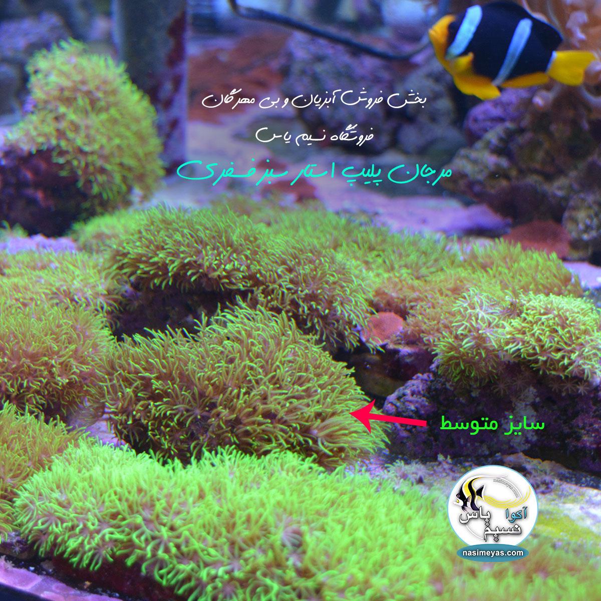 فروش مرجان پولیپ استار سبز فسفری