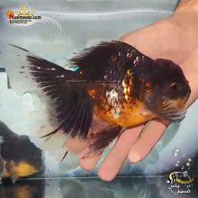 ماهی جفت گلدفیش اوراندا جاینت کالیکو کایرین