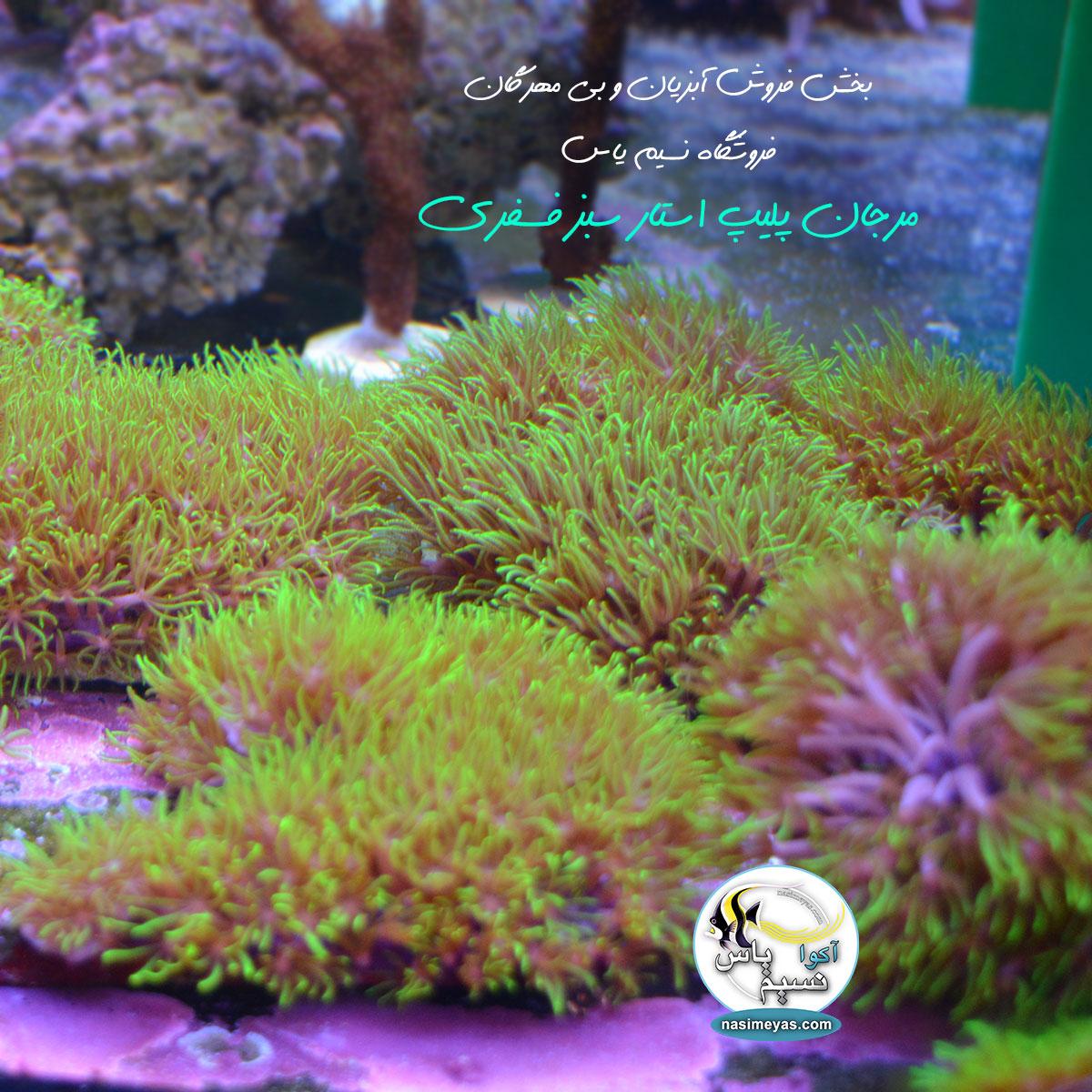 خرید مرجان پولیپ استار سبز فسفری