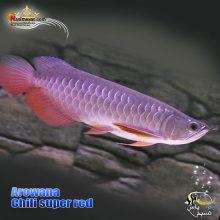 ماهی آروانا چیلی سوپر رد با چیپ و شناسنامه