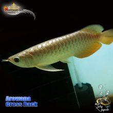 ماهی آروانا کراس بک با چیپ و شناسنامه
