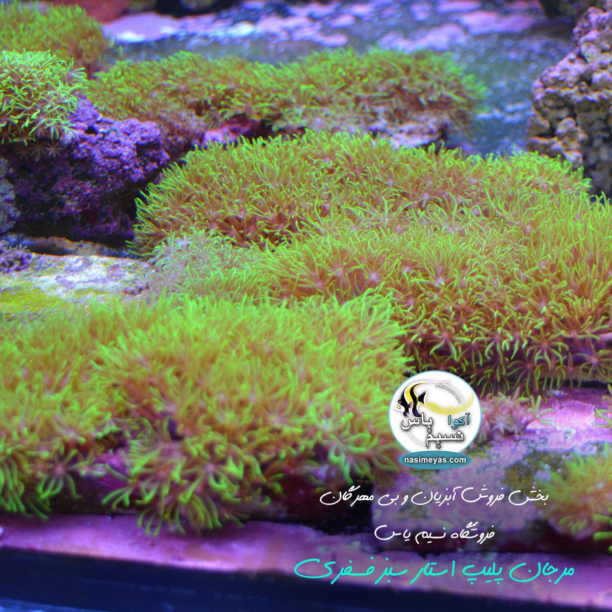 مرجان استار پولیپ سبز فسفری