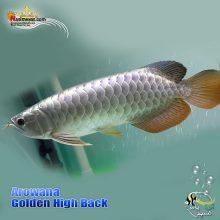 ماهی آروانا گلدن های بک شناسنامه دار golden high back