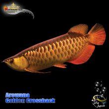 ماهی آروانا گلدن کراس بک با چیپ و شناسنامه