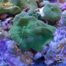 مرجان ماشروم چرمی سبز پرز دار