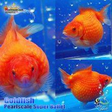 ماهی گلدفیش پرل اسکال سوپر باله