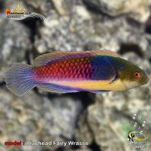 ماهی راس فیری کله آبی