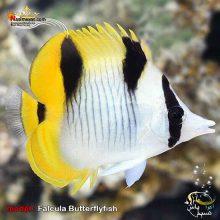ماهی پروانه فالکولا