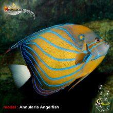 ماهی فرشته بلو رینگ یا آنولاریس بالغ