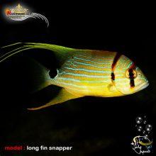 ماهی اسنپر باله بلند