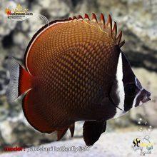 ماهی پروانه پاکستانی