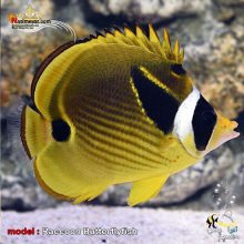 ماهی پروانه راکون