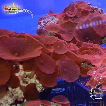 مرجان ماشروم چرمی قرمز