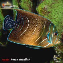 ماهی فرشته قرآنی بالغ