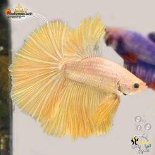 ماهی فایتر هالفون گلدن