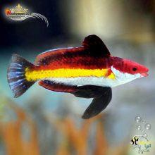 ماهی راس نائوکی