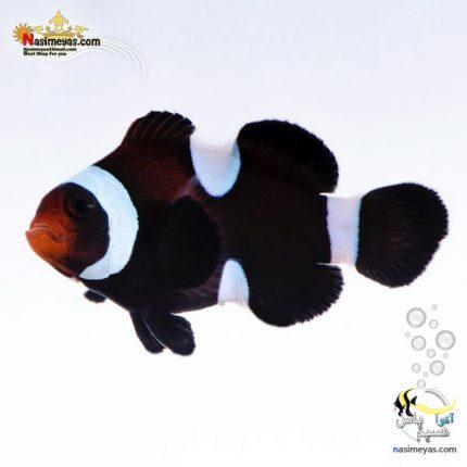 ماهی دلقک بلک اسلاریس تکثیری