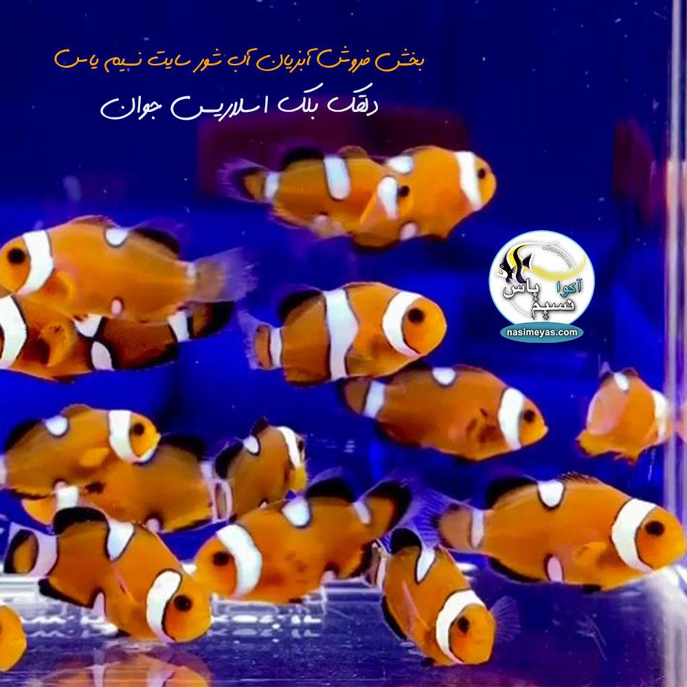 فروش ماهی دلقک بلک اسلاریس تکثیری