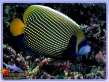 ماهی فرشته امپراطور بالغ