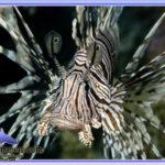 خروس ماهی ولینتاین آب شور