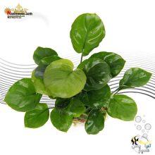 گیاه آنوبیاس بارتری راند لیوس