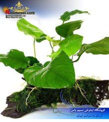 گیاه آنوبیاس بارتری پلنت