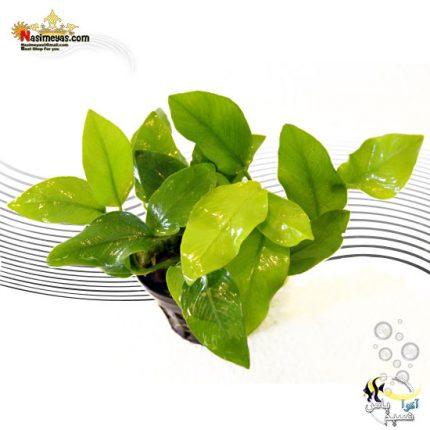گیاه آنوبیاس بارتری نانا گلدن پلنت